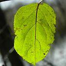Single Leaf by Diane Trummer Sullivan