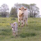 Charolais Cattle by 1illustlady