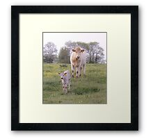 Charolais Cattle Framed Print