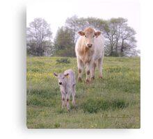 Charolais Cattle Canvas Print