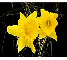The Dainty Daffodils Photographic Print