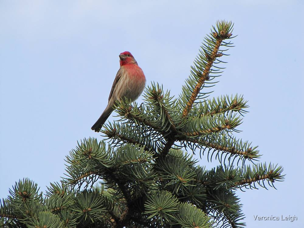 House Finch by Veronica Schultz