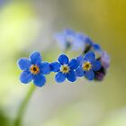 Forget me nots by Mandy Disher