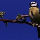 Tit On The Wisteria by snapdecisions