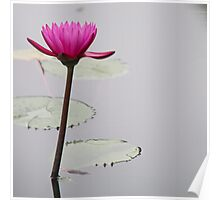 Tall Pink Waterlily Poster