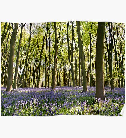 Blue-bell wood near Winchester, Hampshire Poster