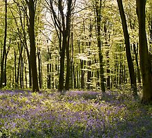 Blue-bells and Beechwood by Alex Cassels