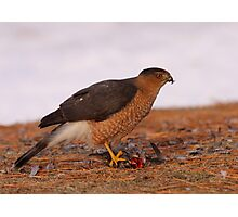 Feathered Feast/Cooper's Hawk Photographic Print