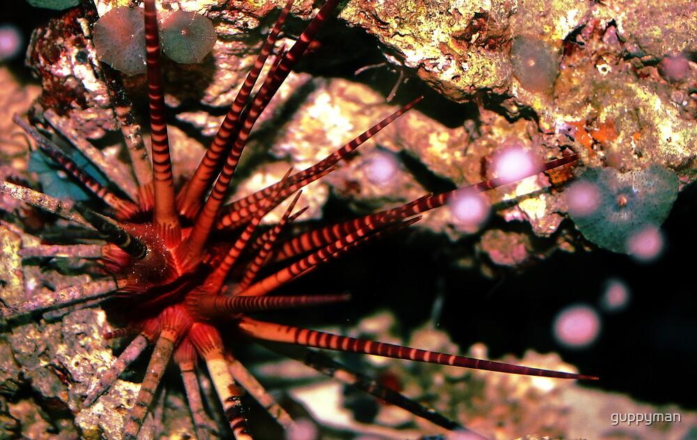 Urchin by guppyman