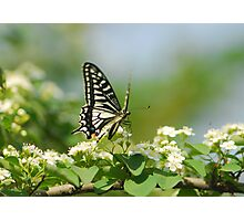swallotail and flower Photographic Print