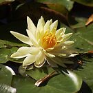 First waterlily in this year by Meeli Sonn