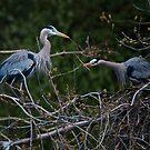 Building their Nest by David Friederich