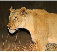 Lioness on the hunt! Photographic Print