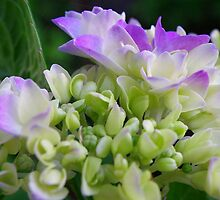 Early Stage Hydrangea Blooms by Kate Eller