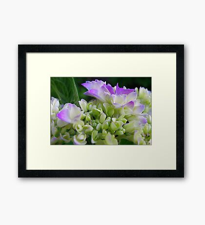 Early Stage Hydrangea Blooms Framed Print