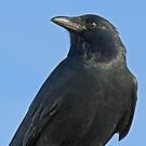 American crow by jozi1
