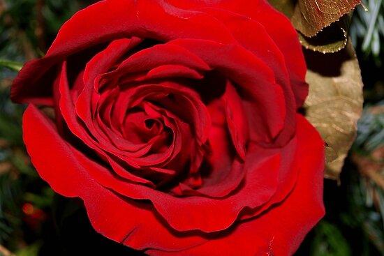 Holiday rose by ♥⊱ B. Randi Bailey