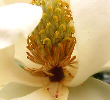 Macro of a Magnolia Blossom by Rusty Gentry