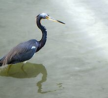 Tricolored Heron by Rosalie Scanlon