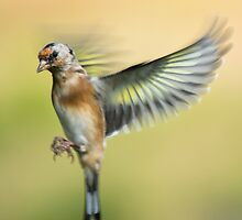 Goldfinch Flight by M.S. Photography/Art