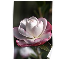 Camellia Bloom Poster