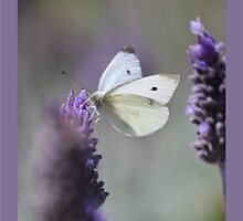 Lavender Butterfly by jono johnson