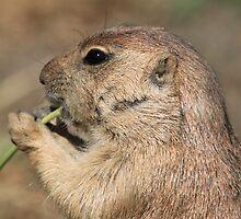 Prairie dog (genus Cynomys) by DutchLumix