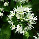 Wild garlic by Meladana