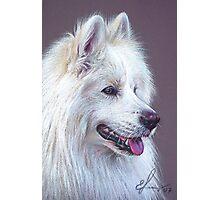 Samoyed dog Photographic Print