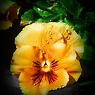 Beautiful Orange Pansy by Rewards4life