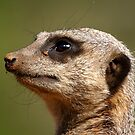 Meerkat Portrait by Mark Hughes