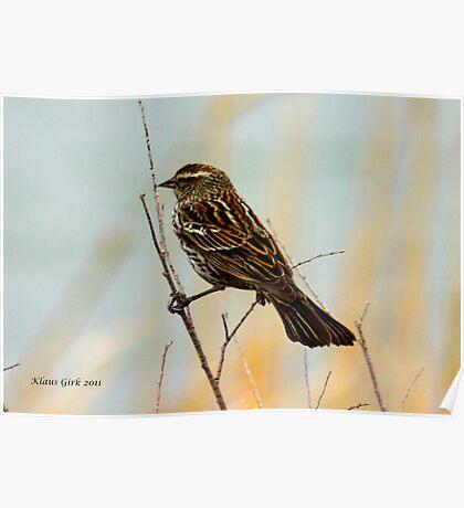 Song Sparrow balancing act Poster