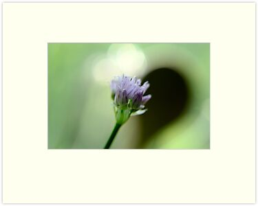 Chive in Bloom by TriciaDanby