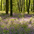 Blue-bell Beechwood in Hampshire by Alex Cassels