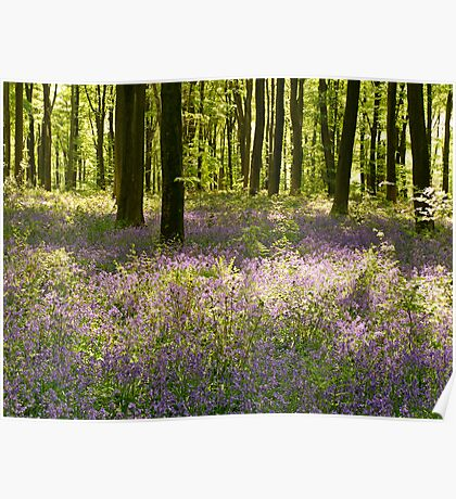 Blue-bell Beechwood in Hampshire Poster