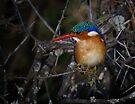 Malachite Kingfisher by Michael  Moss