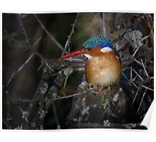 Malachite Kingfisher Poster