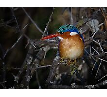 Malachite Kingfisher Photographic Print