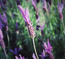 Purple Lavender  by Shootin