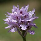 Three-toothed Orchid by marens