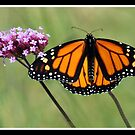 Monarch Magnificent by vette