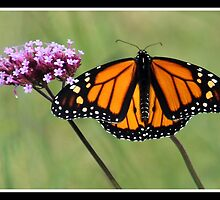 Monarch Magnificent by vette