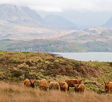 Highland cows by Jari Vipele