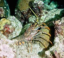 Caribbean Spotted Lobster on Night Dive by Amy McDaniel