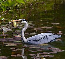 Grey heron feeding in Wales by StefanFierros