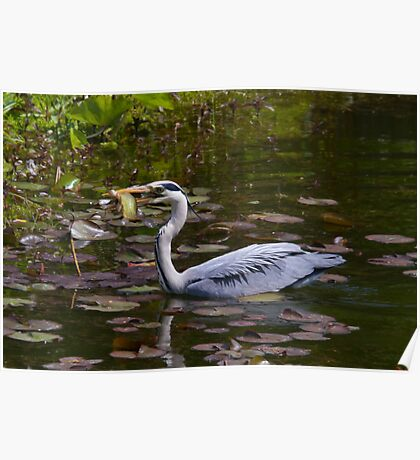 Grey heron feeding in Wales Poster