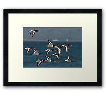 european oystercatcher's in flight Framed Print