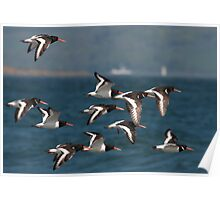 european oystercatcher's in flight Poster