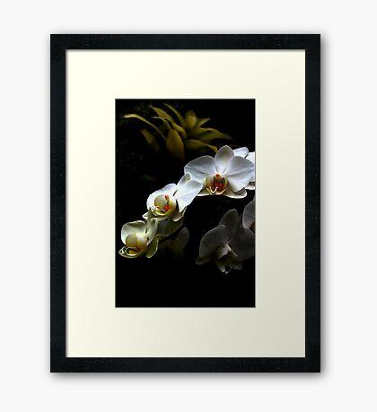 White orchid - Phalaenopsis Framed Print