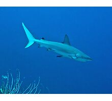Caribbean Reef Shark Photographic Print